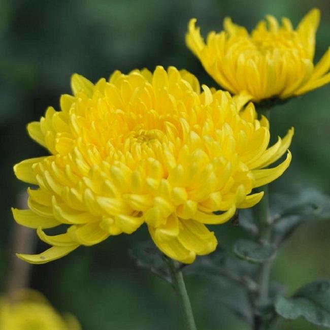 Hoa cúc có tác dụng chữa đau mắt chóng mặt, nhức đầu